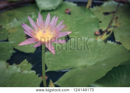 Lotus waterlily flower pink color, Naturally beautiful flowers in the garden