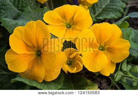 yellow primroses plant (primula-veris ) with leaves