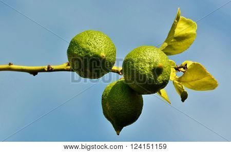 Close up of a twig with green and yellow lemons