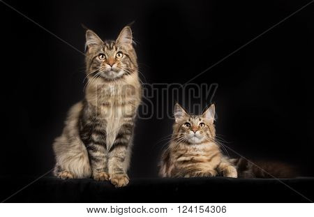 Purebred Maine Coon Cats Isolated On Black Background