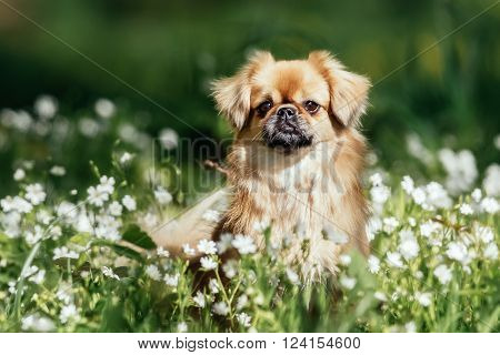 Tibetan Spaniel Dog Outdoors In Nature