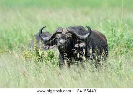 buffalo in african natural park