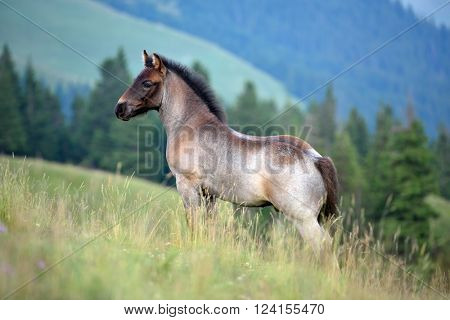 cute foal on mountain pasture in summer