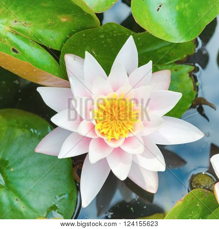 White flower- water lilly with green leaves on the pond