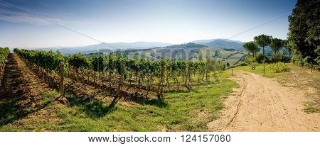 Grapes Growing In Vineyard