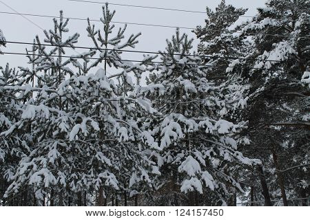 snow-covered winter forest in a midland of Russia