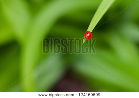 Red ladybird on green blade of grass on a green background. Wild nature. Spring. Spring Nature. Fresh greens. The world of insects. Spring background.