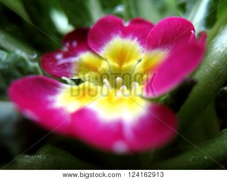 Bright fuschia and yellow primrose blooming in early spring