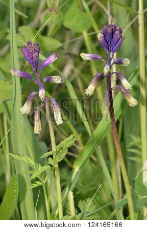 Three-leaved Bellevalia - Bellevalia trifoliata Spring flowering bulb