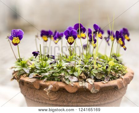purple and yellow Viola Pansy flowers with green leaves on a flower pot