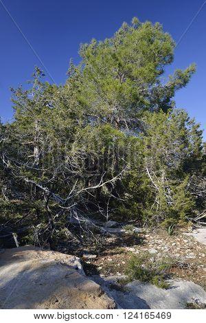 Phoenician Juniper Forest - Juniperus phoenicea with Calabrian Pine - Pinus brutia behind