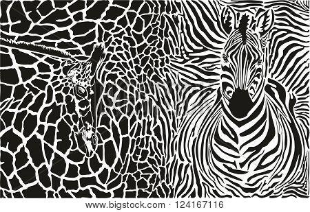 vector black and white illustration of zebra and giraffe