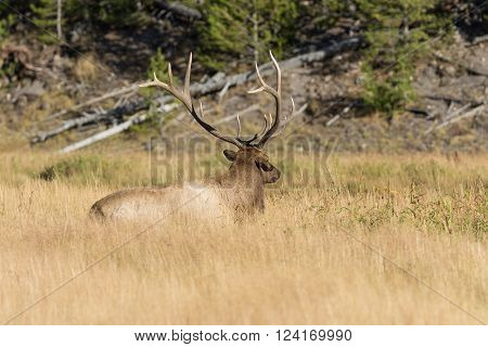 bull elk bedded in a meadow during the rut