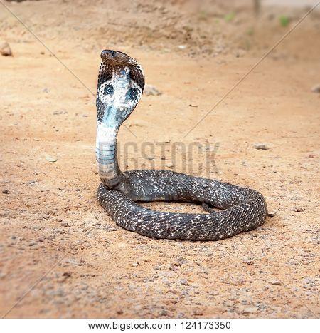 King cobra sliding along the sand .The world's longest venomous snake .