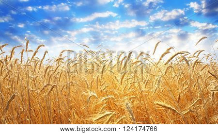 Backdrop of yellow wheat ears field on the cloudy blue sky background. Rich harvest wheat field, fresh crop of wheat.
