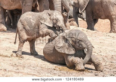 Two mud covered African Elephants Loxodonta africana calves playing