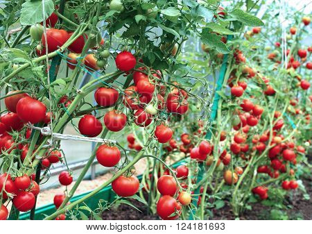 Many red tomatoes in a greenhouse made of transparent polycarbonate