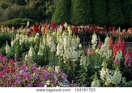 Salvia Flower In The Garden