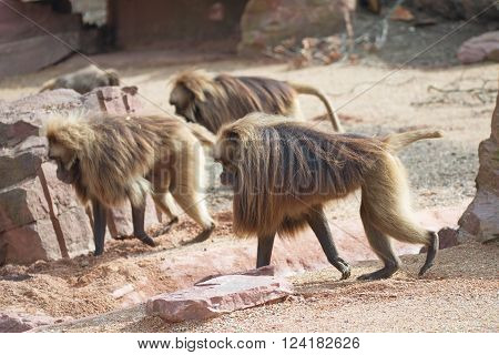 African Baboons In The Open Resort, Magdeburg, Germany
