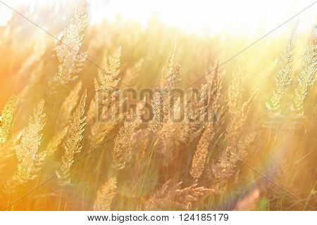 Beautiful high grass, grass seeds lit by sun rays (sunbeams)