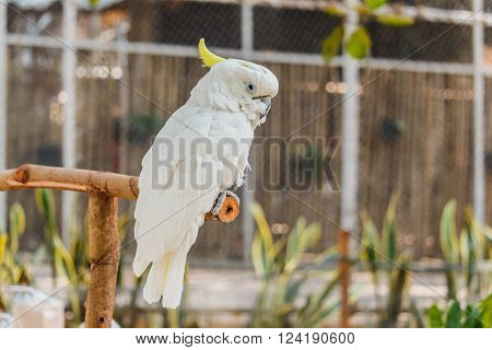 white Cockatoo Caught on branches in the zoo