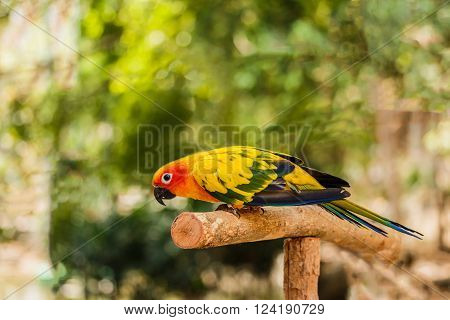 Beautiful Sun Conure the yellow parrot bird sitting on the branch