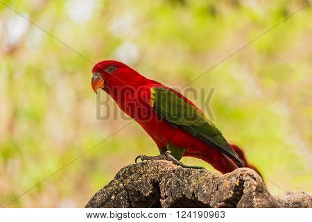 Chattering Lory resting on a twig in forest