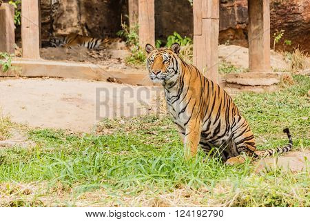 An Indian tiger in the wild. Royal Bengal tiger