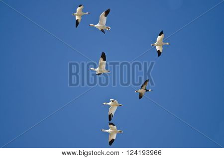 Bi-Directional Snow Geese in Need of a Good Air Traffic Controller