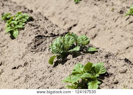 Agricultural field on which grow potatoes. furrow. Spring