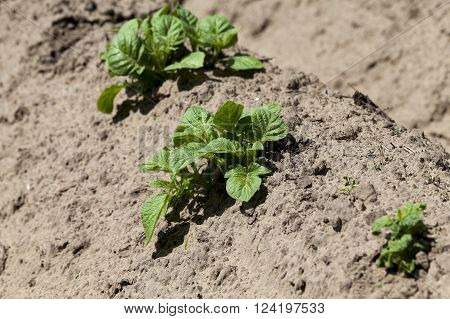 an agricultural field on which grows green potatoes. furrow. Spring. close-up