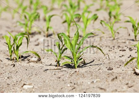 agricultural field on which to grow crops - corn in the spring season