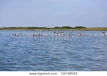 Flock of pink flamingos inside water from