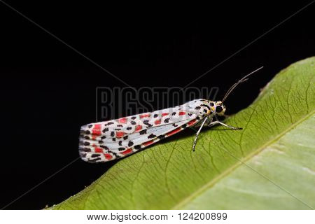 Close up of Salt-and Pepper moth  (Utetheisa lotrix) or Heliotrope moth (Utetheisa pulchelloides) on green leaf in nature, flash fired
