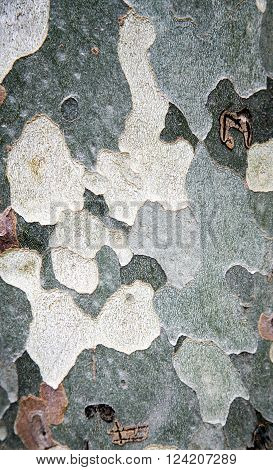 Close-up of sycamore bark for texture or background.