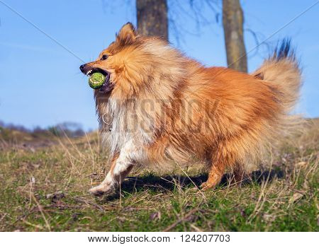 a Shetland Sheepdog plays with a ball