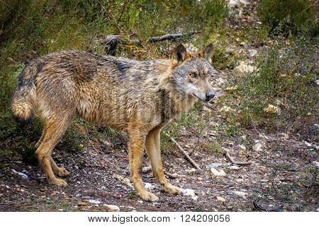 Detailed view of whole wet Canis Lupus Signatus in the bush, side view
