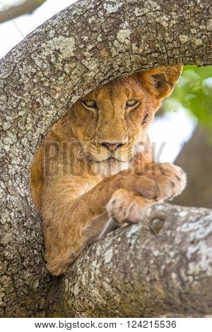 Wild african lion in tree a hot day in Serengeti, Tanzania. Photograph taken very close a wild lion pride.