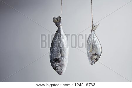 Two Fresh Sea Breams, Wild And River, Big And Small, Hanged For Tail On Rope Positioned In Counter D