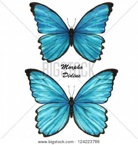 Hand drawn watercolor illustration of isolated tropical butterflies: Blue Morpho Didius