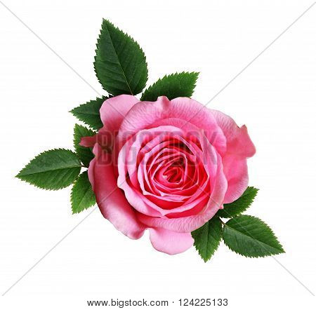 Pink rose flower isolated on a white background