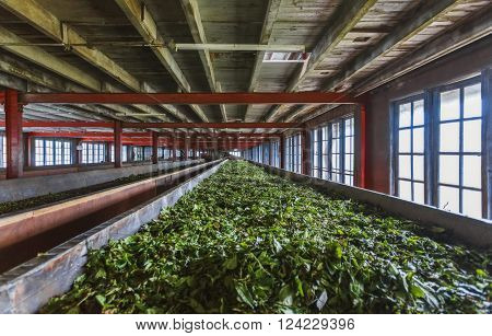 Fresh green tea crop drying on long warm surface inside of tea factory for withering. Production of processing tea leaves. Sri Lanka.