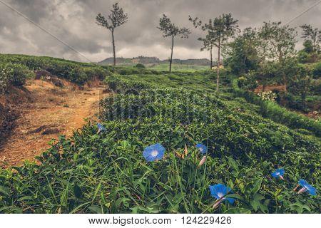Blue flowers on a tea plantation in Sri Lanka. Tea plantations in the highlands of Sri Lanka island.