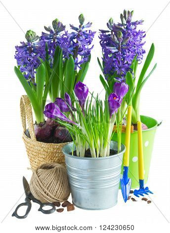 Spring growing flowers in pots with gardening tools  isolated on white background