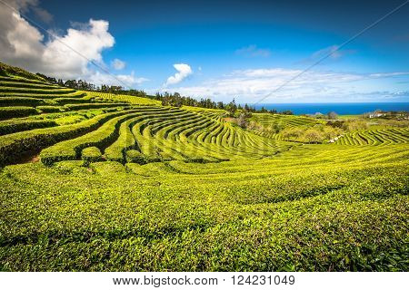 Tea plantation in Porto Formoso. Amazing landscape of outstanding natural beauty. Azores Portugal Europe.