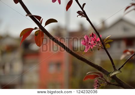Pink flowers on a tree branch in front plan with residential buildings' contours - diffused as on aquarelle painting - in background