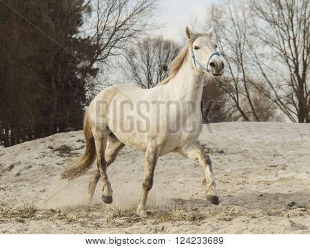 white horse in a blue halter walks on the sand against the backdrop of gray skies