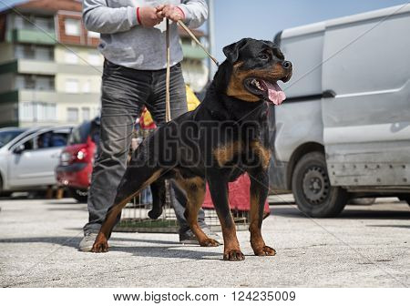 Dog breed rottweiler in a defensive pose