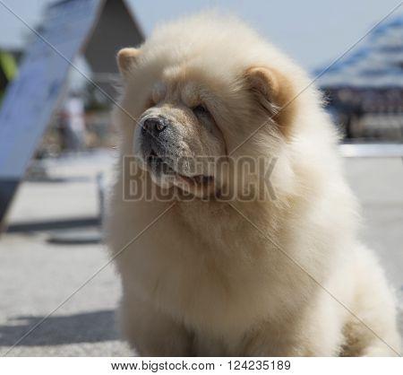 Portrait of beige dog breed chow chow