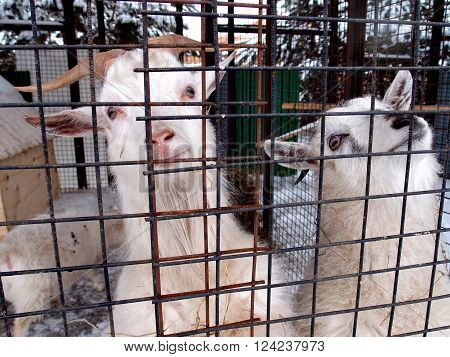 A pair of wild goats in the zoo cage Russia Omsk region